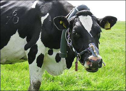 A farmer in Essex has started connecting his cows to the Internet by implanting sensors that help him tell when they become ill